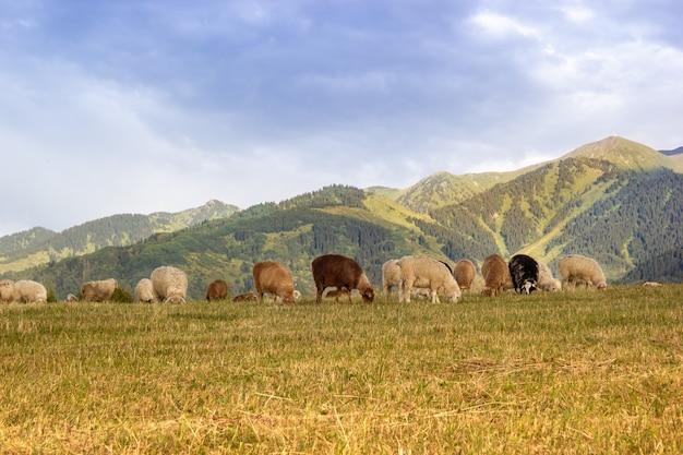 Kudde schapen kauwt gras in centraal-aziatische jailau. rustige avond in de bergen.