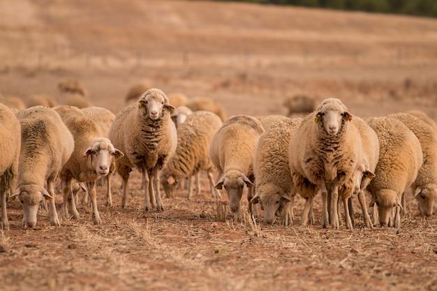 Kudde schapen op de natuur