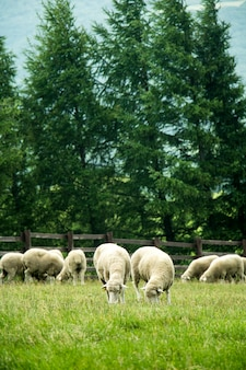 Kudde schapen op een mooie groene weide