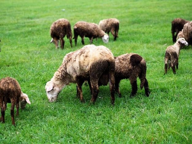Kudde schapen op het veld