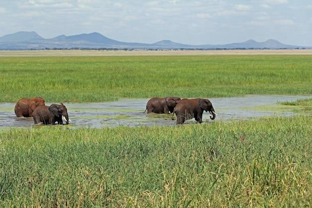 Kudde schattige afrikaanse olifanten die drinken bij een waterpoel in het tarangire national park in tanzania