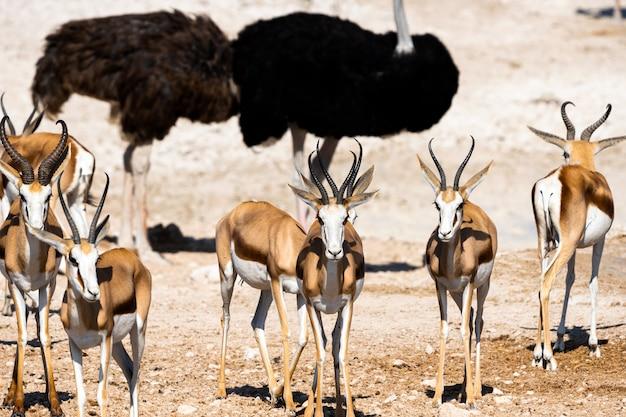 Kudde springbokken antilopen en struisvogels bij waterput, okaukuejo, etosha national park, namibië