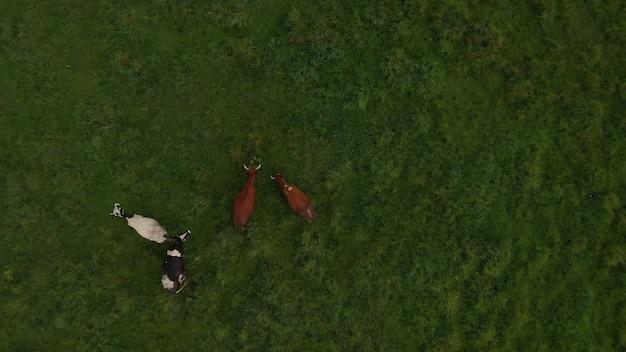 Kudde stier koeien mooi vee vee groot vee eet groen gras in de weide steppeweide