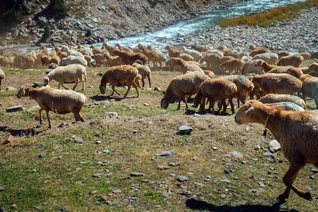 Kudde van lokale schapen met blauw geschilderde gemarkeerde begrazing in de buurt van berg en stromende rivier.