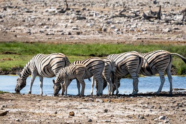 Kudde van zebra die glasgebied in het nationale park van etosha, namibië eten