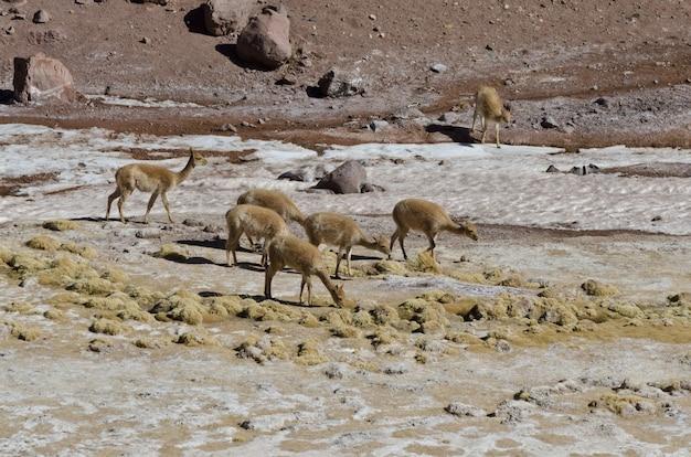 Kudde vicuna's in het andesgebergte, argentinië