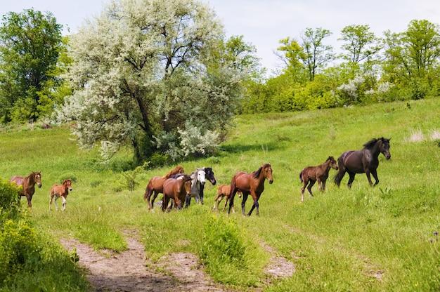 Kudde wilde steppepaarden op grazen