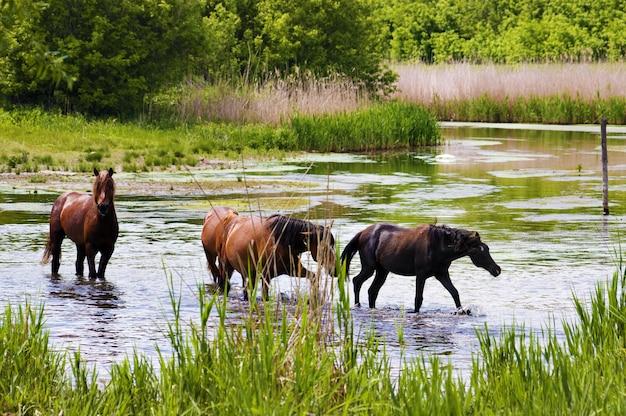Kudde wilde steppepaarden op rivier