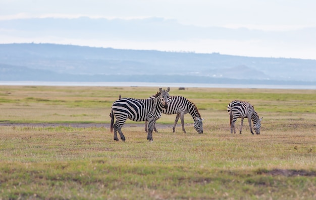Kudde wilde zebra's in een afrikaanse uiterwaarden