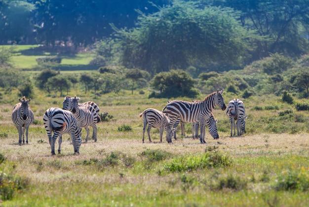 Kudde wilde zebra's