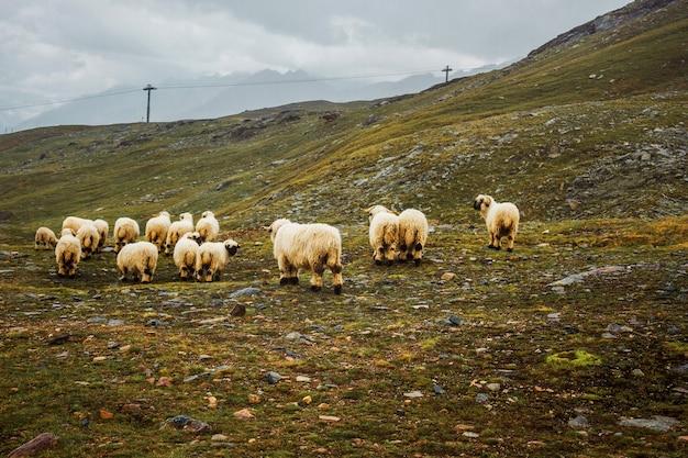 Kudde witte schapenvee op weide in zwitserse bergen zwitserland zermatt foggy farming view