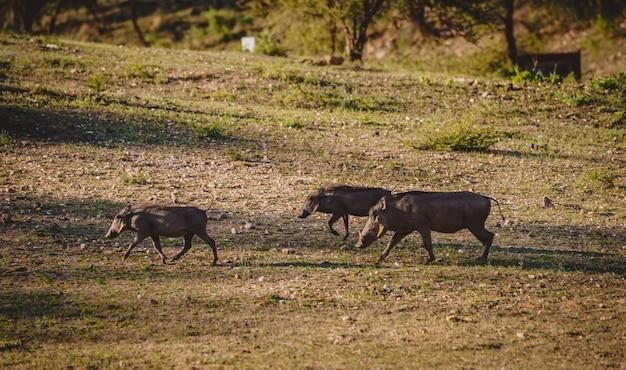 Kudde wrattenzwijnen in afrika