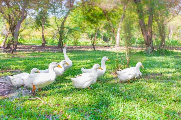 Kudde yi liang-eenden, het lichaam is wit en geel vogelbekdier dat ze hun voedsel aan het eten zijn