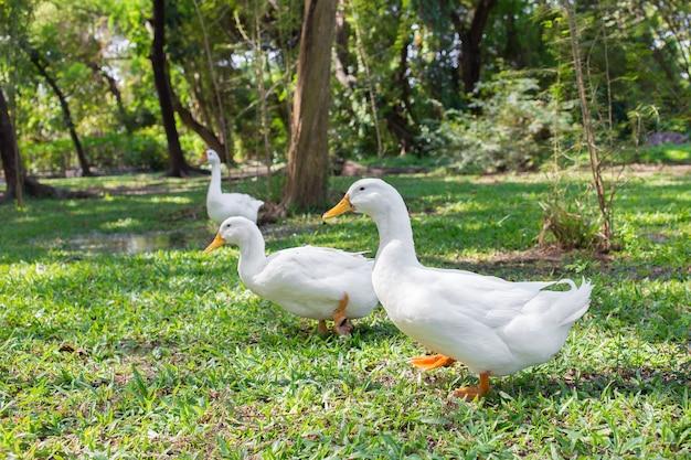 Kudde yi liang-eenden het lichaam is wit en geel vogelbekdieren die ze hun voedsel eten