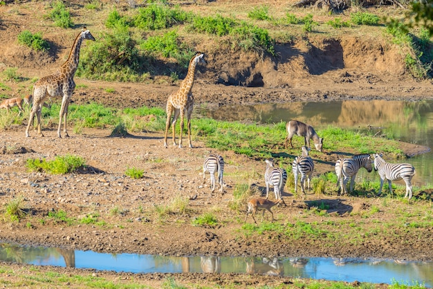 Kudde zebra's, giraffen en antilopen grazen op shingwedzi rivieroever in het kruger national park, belangrijke reisbestemming in zuid-afrika. idyllisch kader.