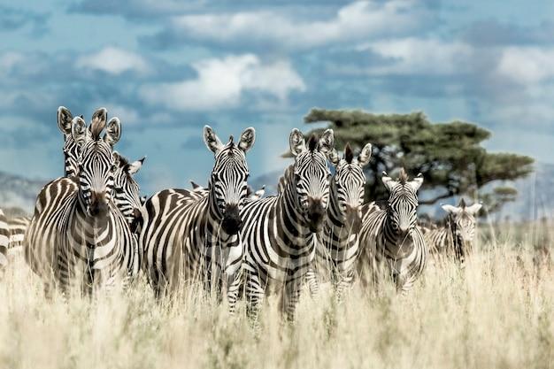 Kudde zebra's in de wilde savanne, serengeti, africa
