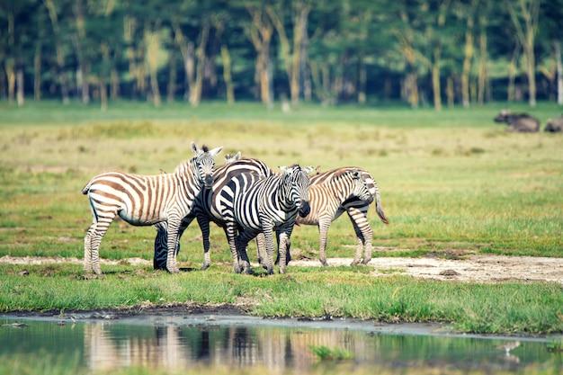 Kudde zebra's in savanne