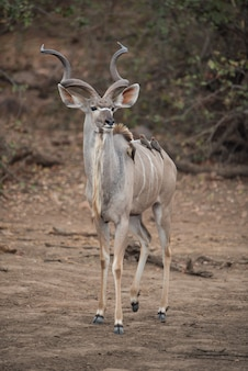 Kudu-antilope met kleine vogels op de rug