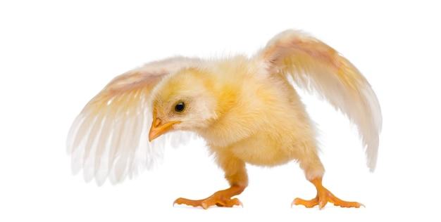 Kuiken die met zijn vleugels klappert (8 dagen oud)