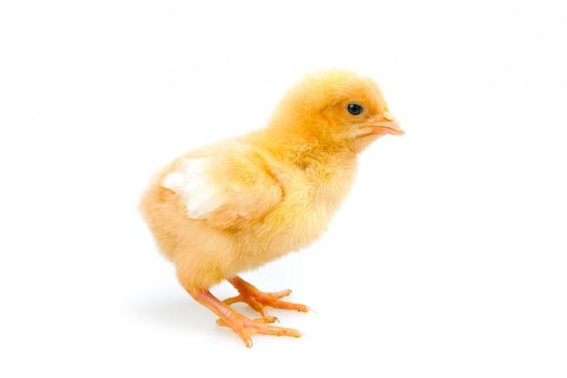 Kuiken of kleine kip geïsoleerd. boerderij en vee concept