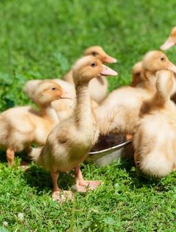 Kuikens kleine eendjes op gras Premium Foto