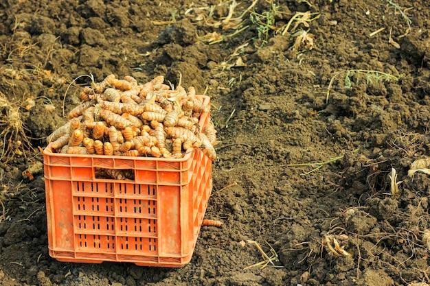 Kurkuma wortel op landbouwgebied