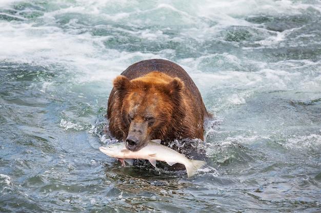 Kust bruine grizzlys die bij katmai national park, alaska vissen.