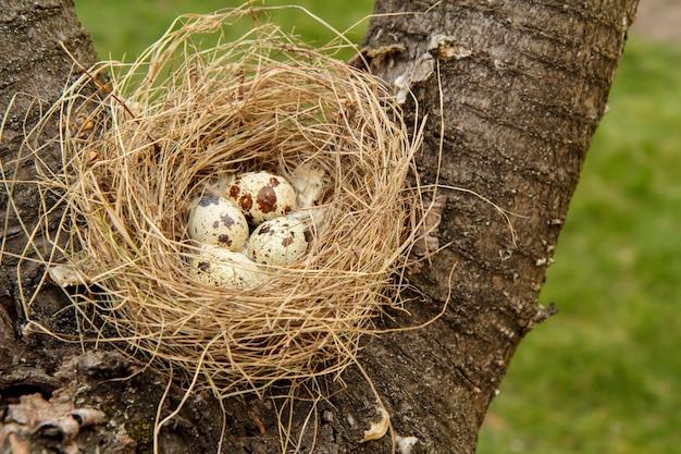 Kwartelnest met vier eieren op een boom in het bos
