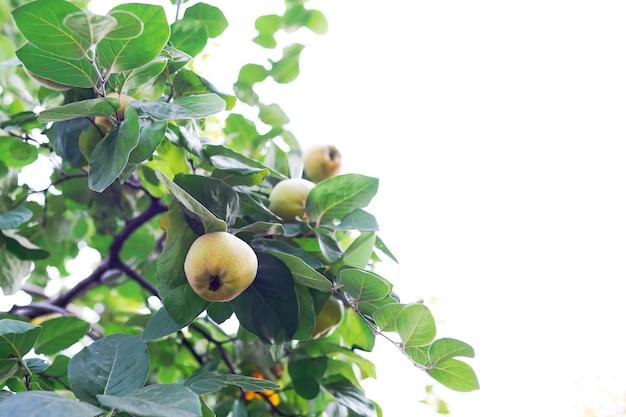 Kweepeer op tak. biologische natuurlijke kweepeer appels aan de boom in de herfst.