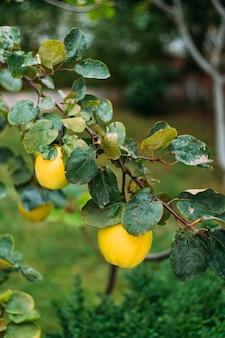 Kweepeerboom groeit in de tuin rijpe gele kweepeervruchten groeien op kweepeerboom met groen gebladerte