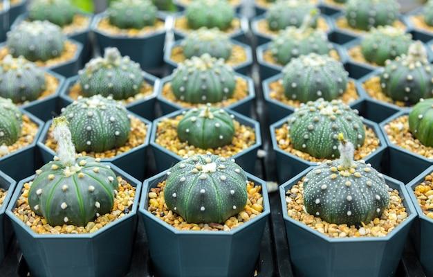 Kwekerij cactusboom binnentuin kan het voor jezelf doen