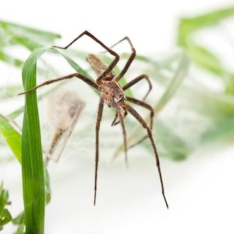 Kwekerijwebspin pisaura mirabillis met spiderling in geïsoleerd nest