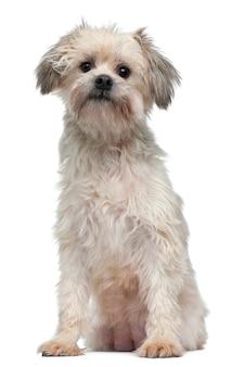 Lãƒâ¶wchen of petit chien lion of little lion dog (3 jaar oud)