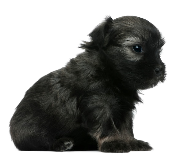 Lãƒâ¶wchen of petit chien lion of little lion dog puppy (3 weken oud)