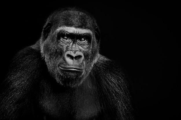 Laaglandgorilla op zwarte achtergrond, geremixt van fotografie door jessie cohen