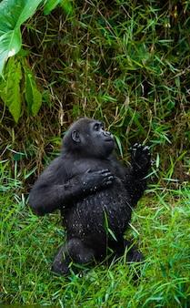Laaglandgorilla's in het wild. republiek congo