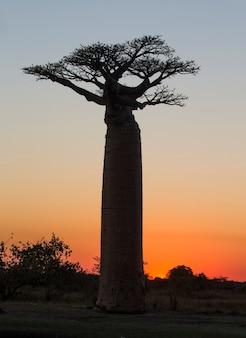 Laan van baobabs bij zonsondergang in madagaskar