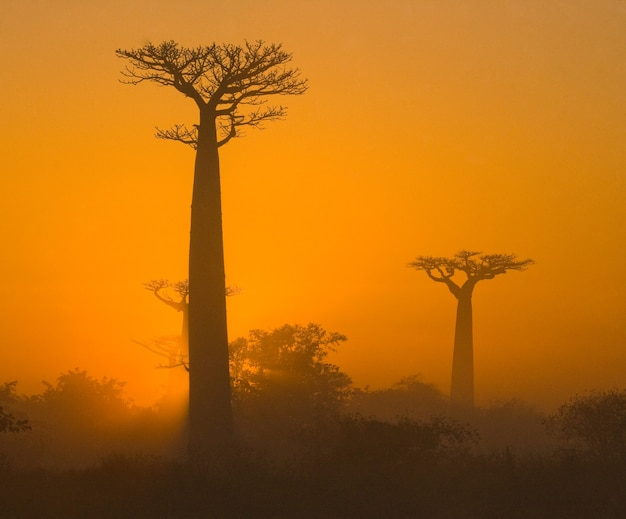 Laan van baobabs bij zonsopgang in de mist in madagaskar