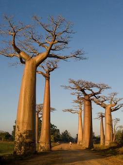 Laan van baobabs in madagaskar