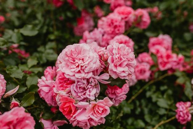 Laarzen van roze rozenclose-up