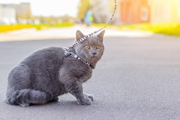 Laat de kat op het harnas lopen. huisdier voor een wandeling. pet is bang voor de straat. een artikel over wandelende katten. een artikel over de angst voor straathonden. britse raskat. de kat zit