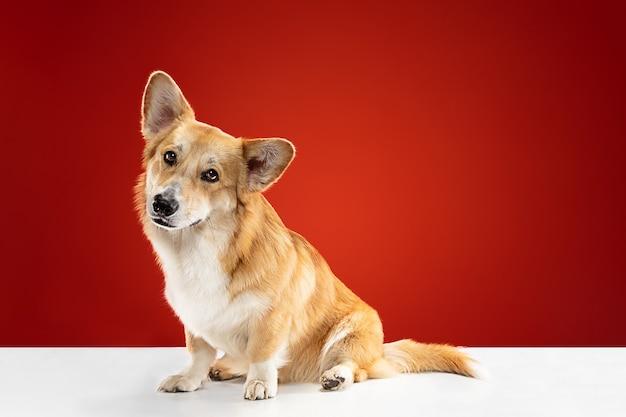 Laat me je vriend zijn. welsh corgi pembroke puppy poseren. het leuke pluizige hondje of huisdier zit geïsoleerd op rode achtergrond. studio fotoshot. negatieve ruimte om uw tekst of afbeelding in te voegen.