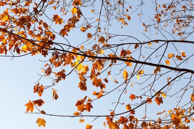 Laatste droge saaie esdoornbladeren op boomtakken
