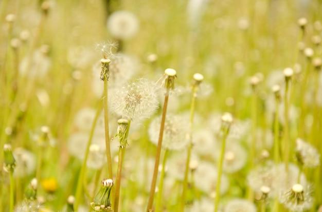 Laatste zaden van paardebloemen als het einde van de zomer-concept