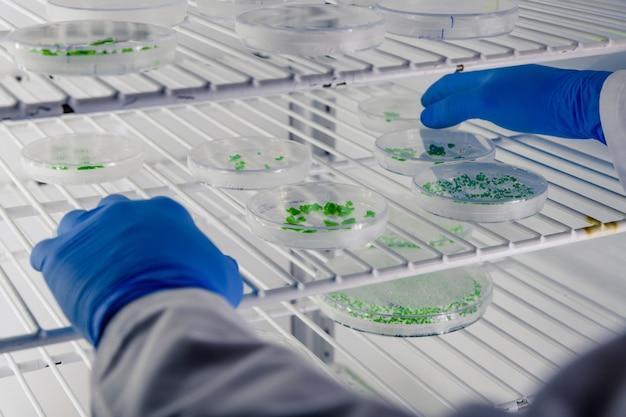 Laboratoriummedewerker onderzoekt een stof op petrischalen tijdens het uitvoeren van coronavirusonderzoek