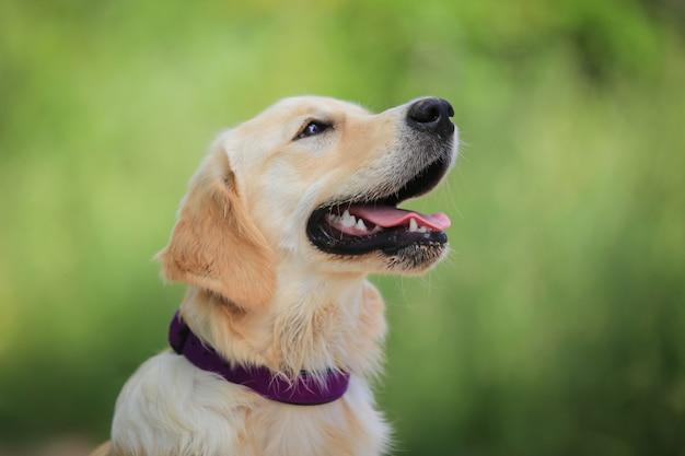 Labrador attent