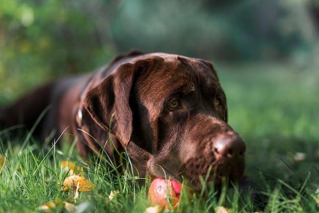 Labrador die op groen gras met bal liggen
