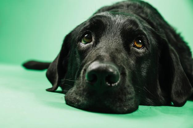 Labrador hoofd van de close-up