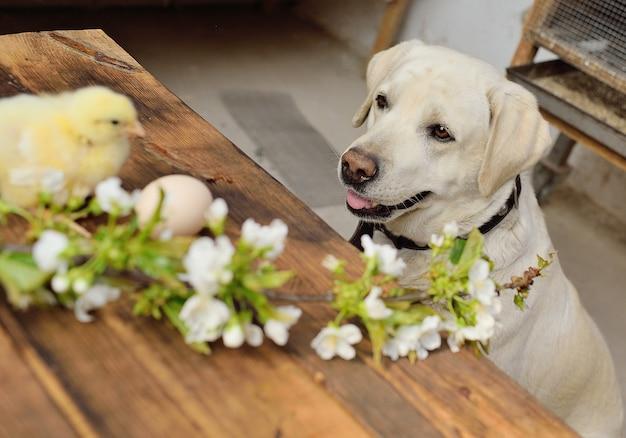 Labrador kijkt naar twee kleine kippen op een houten tafel