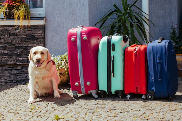 Labrador koffer bagage bagage vakantie gouden veelkleurige roze blauwe klaar vakantie zomer hond huisdier dier verwachting